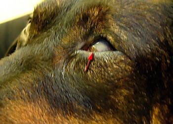 Аденовироз (Аденовирусная инфекция) у собак